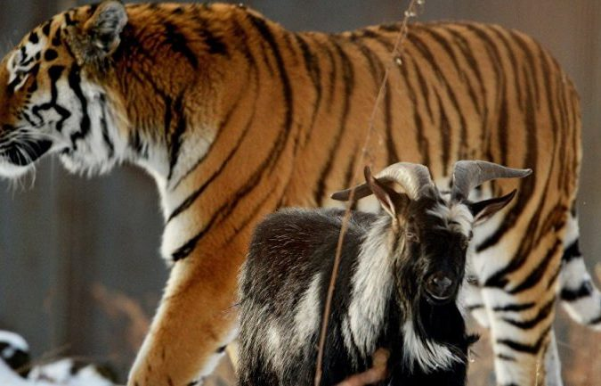 AMUR AND TIMUR the Tiger and the Goat